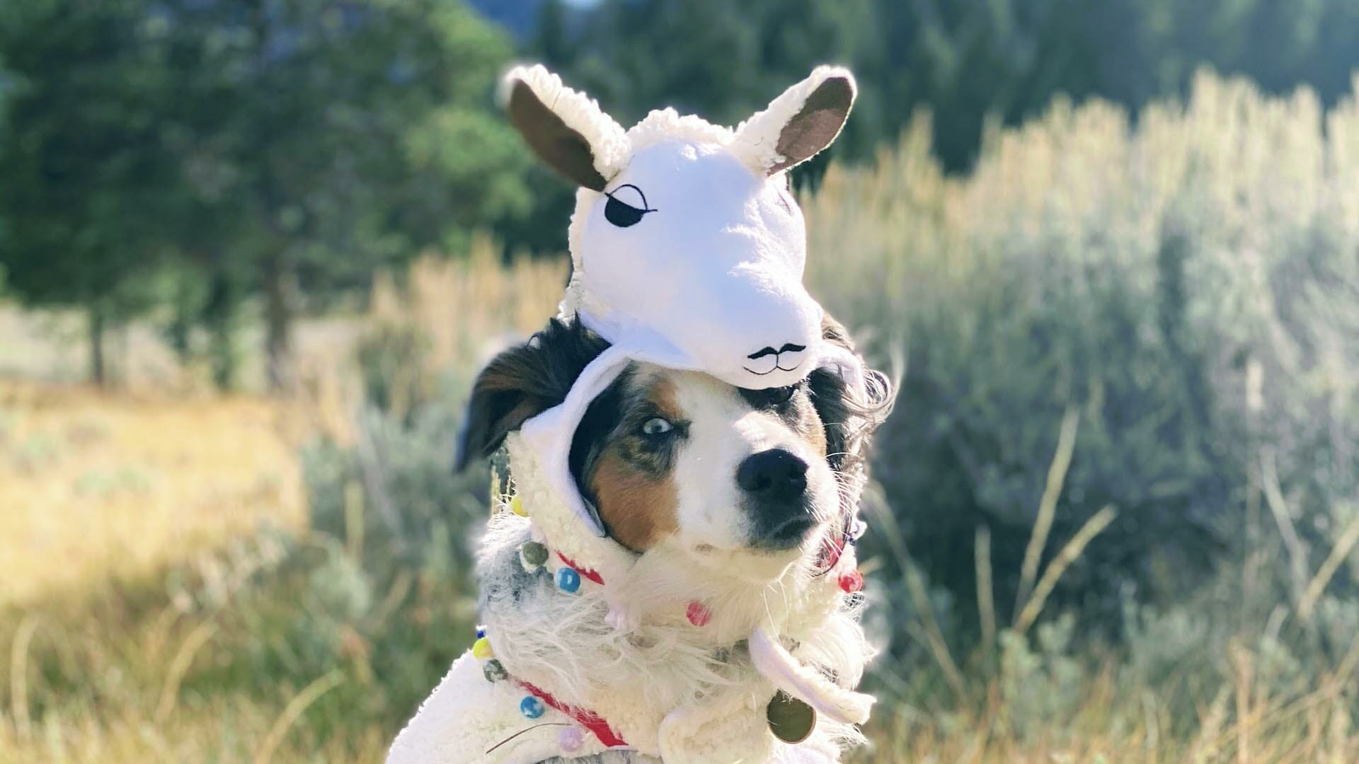 azuli the australian shepherd wears a sheep costume