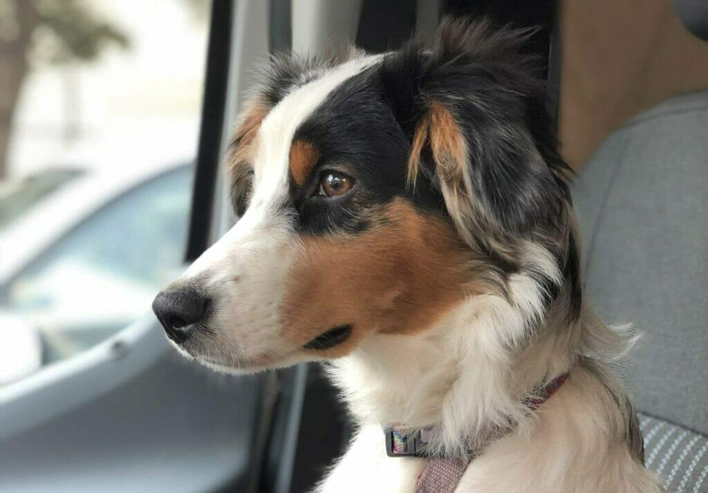 Australian shepherd in a vanlife van passenger seat